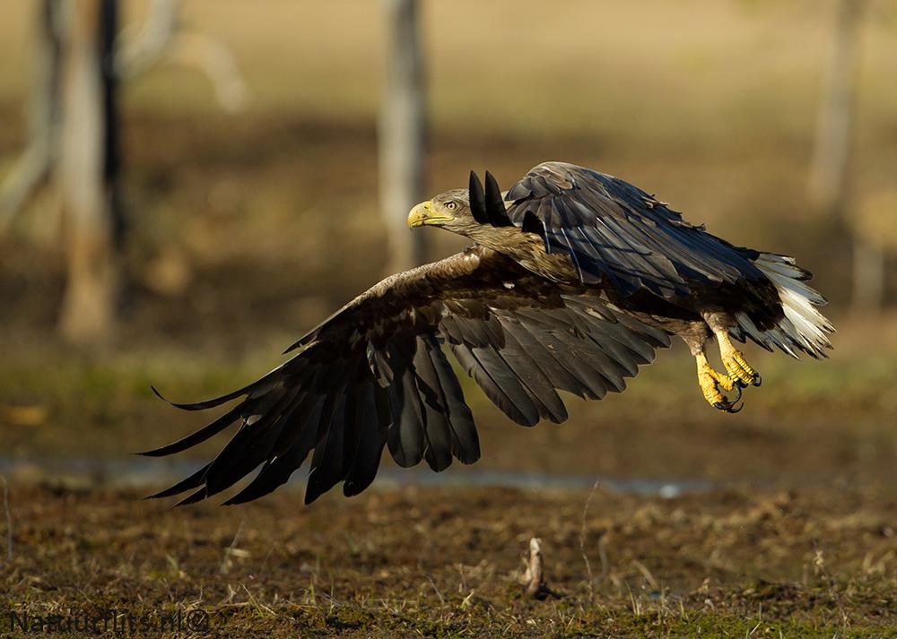 white-tail-eagle