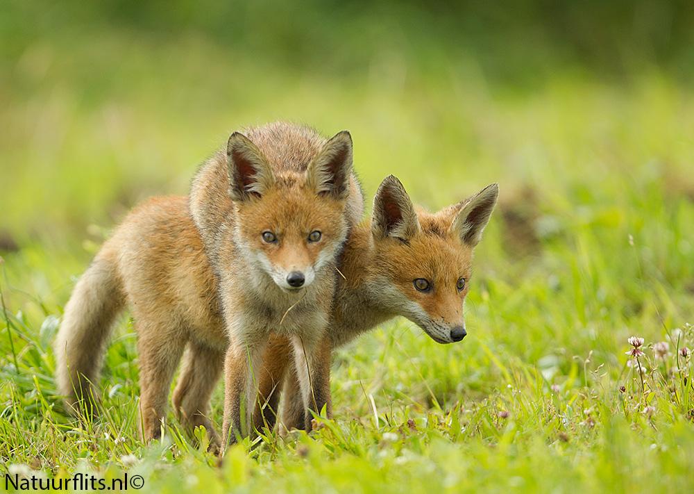 fox-jump-over